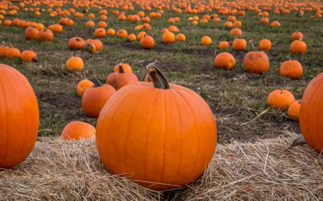 Pumpkins on display at a pumpkin patch are ready for Halloween