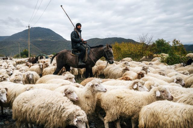 Zhinvali village Mtskheta-Mtianeti Georgia - October 21 2016: Shepherd with crook riding a horse and herding a group of sheep