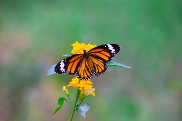 The monarch butterfly or simply monarch is a milkweed butterfly in the family Nymphalidae.